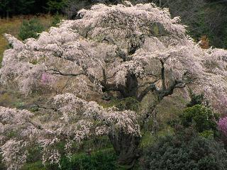 中川村 西丸尾のしだれ桜