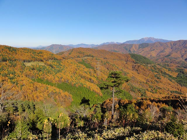 陣馬形山から続く唐松のオレンジの絨毯