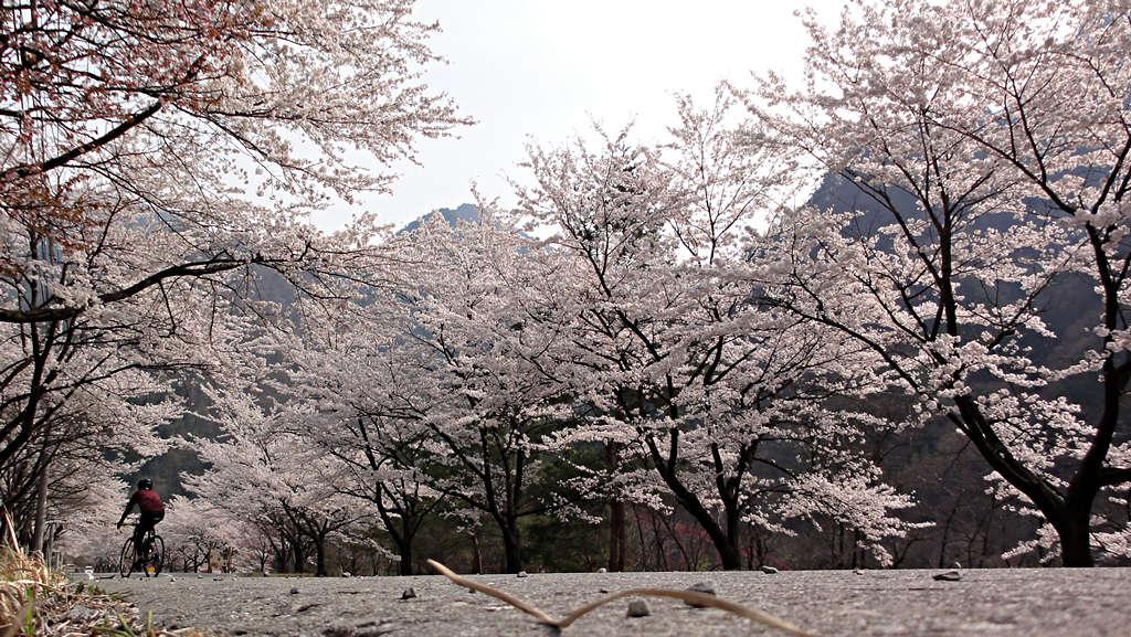 2014年4月16日:大鹿村「桶谷の桜」