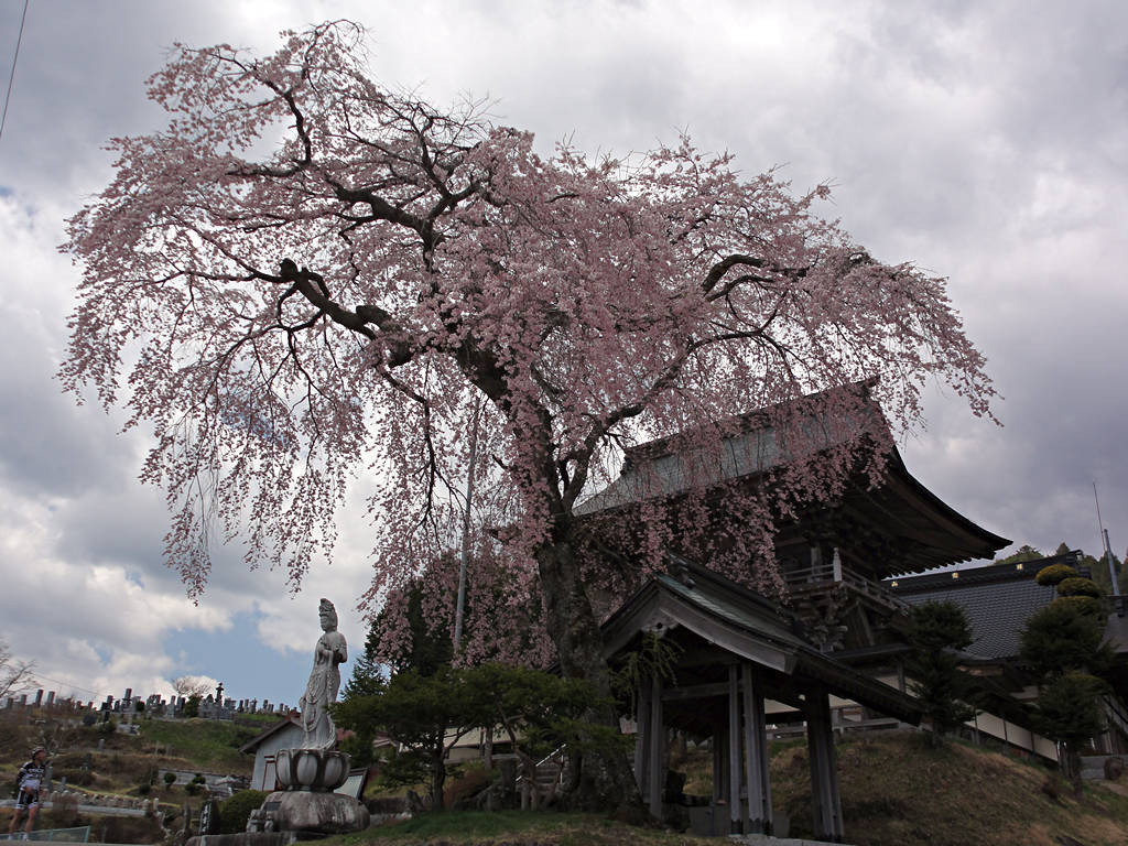 2014年4月23日阿智村新野「瑞光院のしだれ桜」